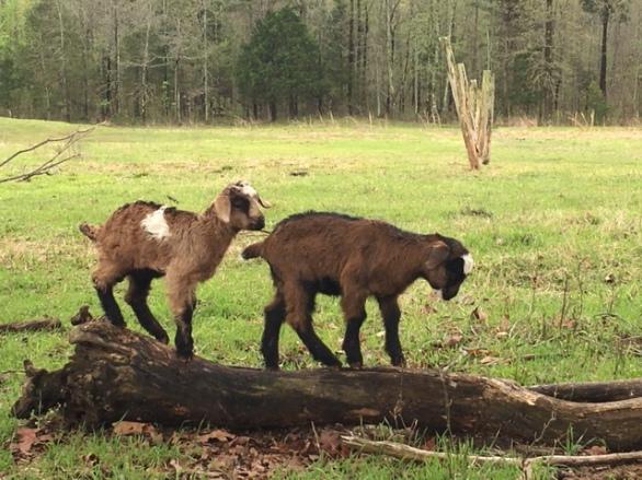 H&A Registered Spanish Goats – Registered Weinheimer